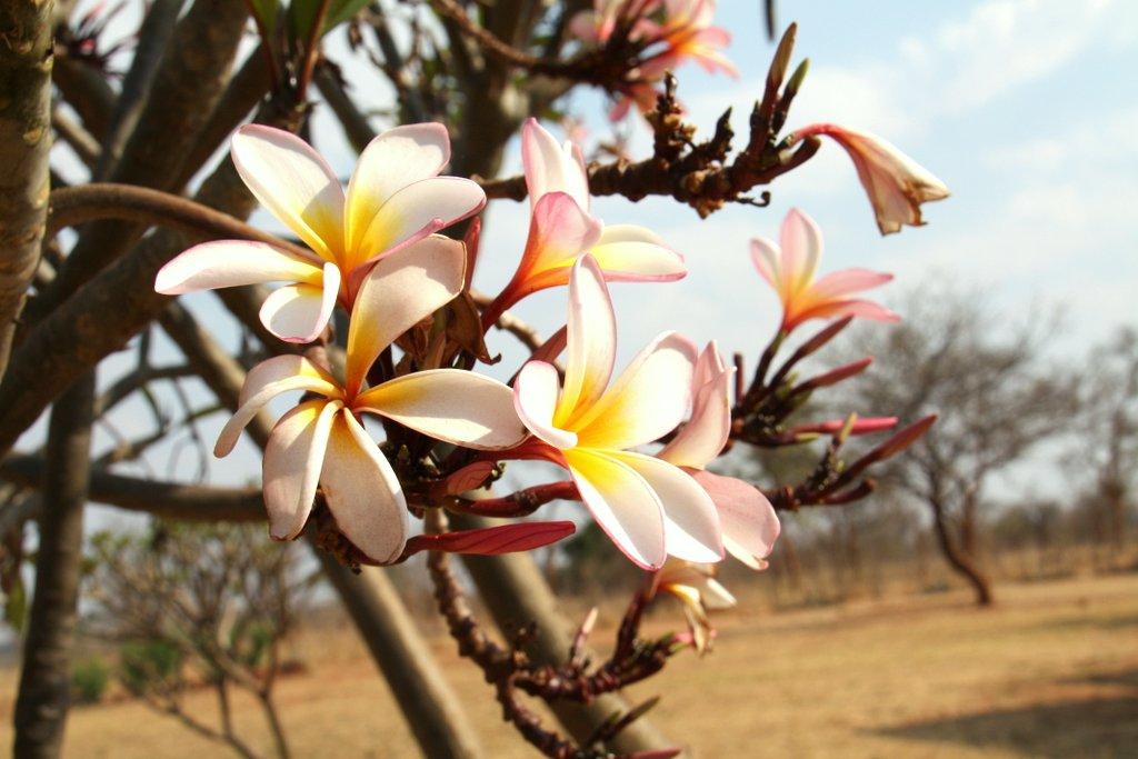 A frangipani bloom